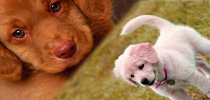 Köpekler Tasmalarını Çekiştiriyorsa Ne Anlama Gelmektedir?